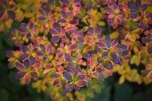 Rhododendron viscosum - Wikipedia