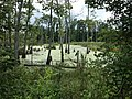 Swamp in Richland County, SC.jpg