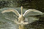 Swan - Stanborough Lakes (29256552646).jpg