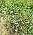 Symphyotrichum frondosum 4692025.jpg