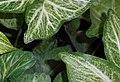 Syngonium podophyllum 2015-06-01 OB 253b.jpg