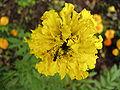 Syrphidae 37.jpg