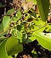 Syzygium caryophyllatum 12.JPG