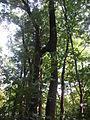 Törzsüknél összenőt fák01 - Hédervár.JPG
