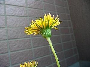 Taraxacum japonicum - A Taraxacum japonicum flower head.