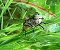 Tabanidae. ( Tabanus bovinus^) - Flickr - gailhampshire (2).jpg