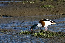 A mainly white and brown duck walking in shallow mud searching for food with its beak in the mud