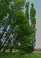 Tall, straight Poplar Trees - geograph.org.uk - 451186.jpg