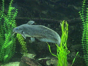 Eel-tailed catfish - Eel-tailed catfish  at Adelaide Zoo
