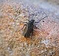 Tanypodinae - probably a melanic Procladius species - Flickr - gailhampshire.jpg