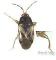 Targaremini new genus new species.jpg