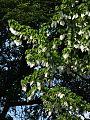 Taschentuchbaum 01.jpg