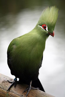 guinea turaco tauraco persa at birds of eden aviary south africa