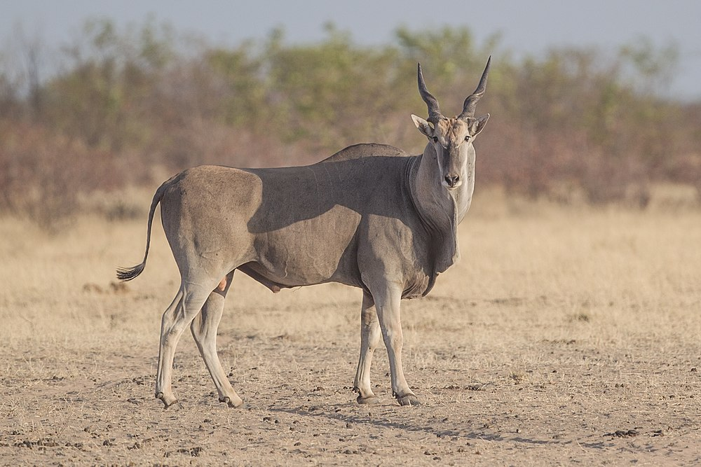 The average litter size of a Common eland is 1
