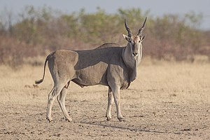 Common eland - A bull common eland in Etosha National Park in Namibia.
