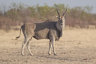 Taurotragus - Common eland