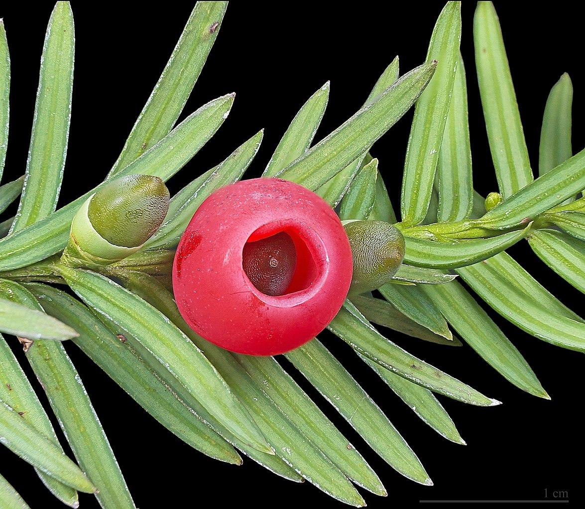 Arilo (falso fruto) de tejo.