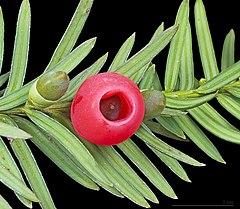 Taxus baccata (Eŭropa taksuso) branĉo kun kreskaj kaj malkreskaj strobiloj