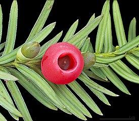 Tis - zrelý plod (červený) a nezrelé plody