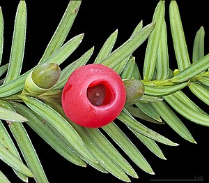 Taxus - Taxus baccata (European yew) shoot with mature and immature cones