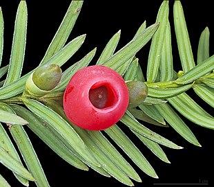 """Frøene hos Almindelig Taks (Taxus baccata) er karakteristisk åbne (""""nøgne"""")."""
