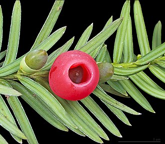 "Implicature - ""Yewberry"", more accurately the aril of the European yew"