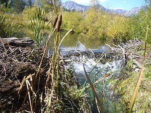 Taylor Creek (Lake Tahoe) - Beaver dams on Taylor Creek are breached by the Forest Service in anticipation of the October Kokanee salmon spawning run.