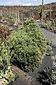 Teguise Guatiza - Jardin - Euphorbia lactea 01 ies.jpg