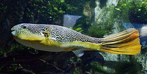 Tetraodon - Mbu pufferfish (T. mbu)