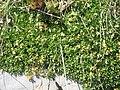Teucrium montanum001.jpg
