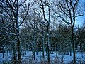 Texel - De Dennen - Nattevlakweg - View West on Oak Trees after a Snow Blizzard.jpg