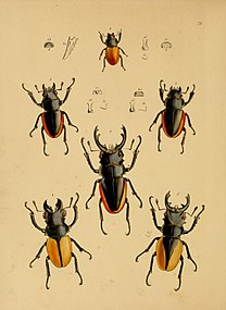 The cabinet of oriental entomology - being a selection of some of the rarer and more beautiful species of insects, natives of India and the adjacent islands, the greater portion of which are now for (14783540102).jpg