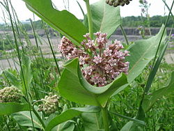 The common milkweed in all its June glory..jpg