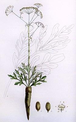 The flora homoeopathica (Plate VII) BHL6163567 bis.jpg