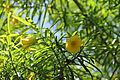 Thevetia Peruviana (Lucky Nut) (28276473264).jpg