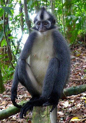 Description de l'image Thomas's langur Presbytis thomasi.jpg.
