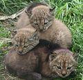 Three Iberian Lynx cubs 02.jpg