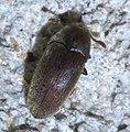 Throscidae P1450661a.jpg