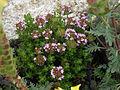 Thymus camphoratus 2.jpg