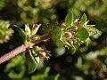 Thymus vulgaris 2020-05-22 9041.jpg