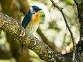 Tickell's Blue Flycatcher (24099491951).jpg