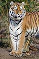 Tiger (15931475963).jpg
