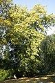 Tilia x orbicularis JPG1Ab.jpg