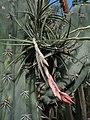 Tillandsia rauschii (TS) 2-05022.jpg