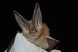 Townsends big-eared bat (6009182505).jpg
