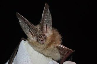 Townsend's big-eared bat - Image: Townsends big eared bat (6009182505)