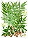 Toxicodendron succedaneum - Köhler–s Medizinal-Pflanzen-272.jpg
