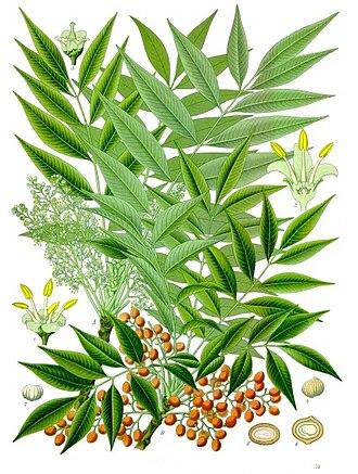 Toxicodendron succedaneum - Köhler's Medicinal Plants plate 272
