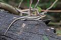 Trachylepis striata.jpg