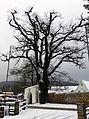 Traubeneiche (Quercus petraea), Olbernhau (3).jpg
